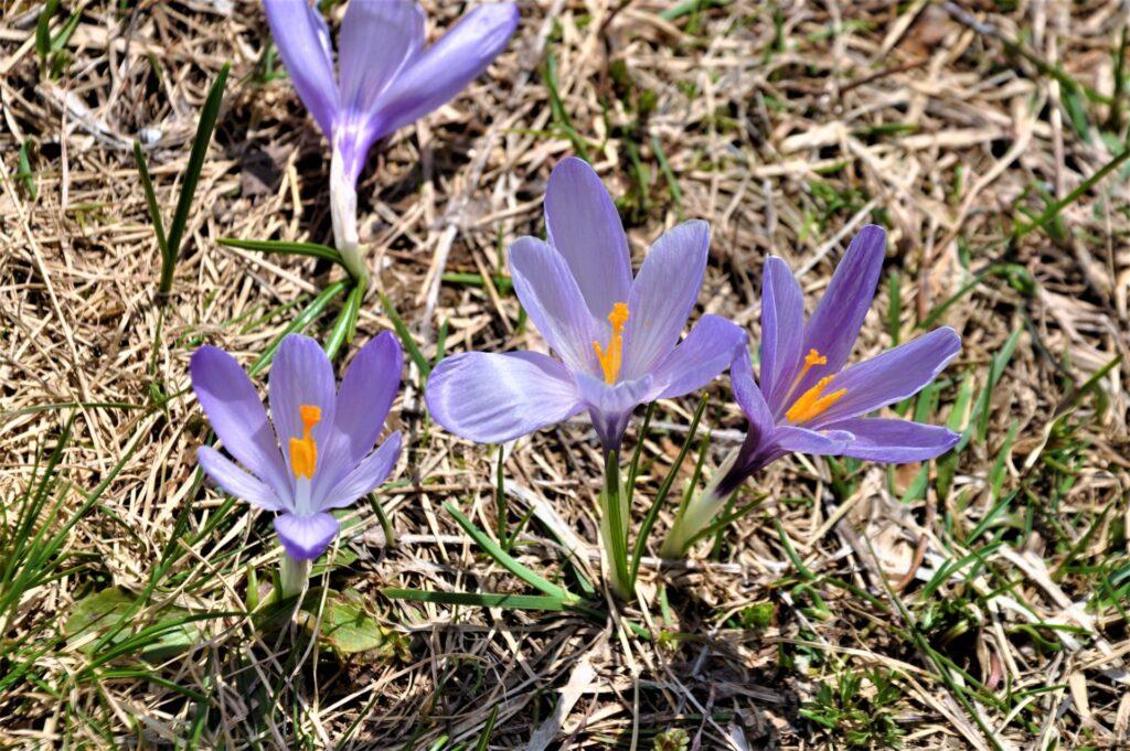 Fiore viola con pistilli gialli della famiglia dello zafferano